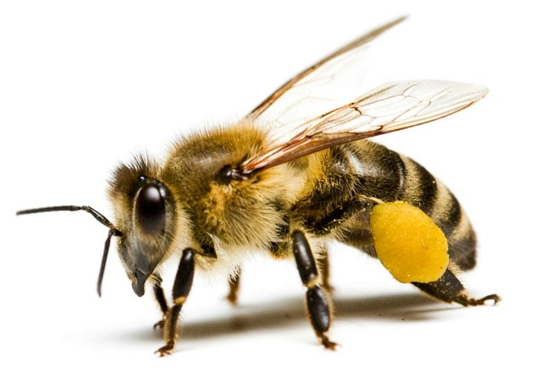Bee Nest Removal | Honey, Bumble and Mason Bees | Hampshire