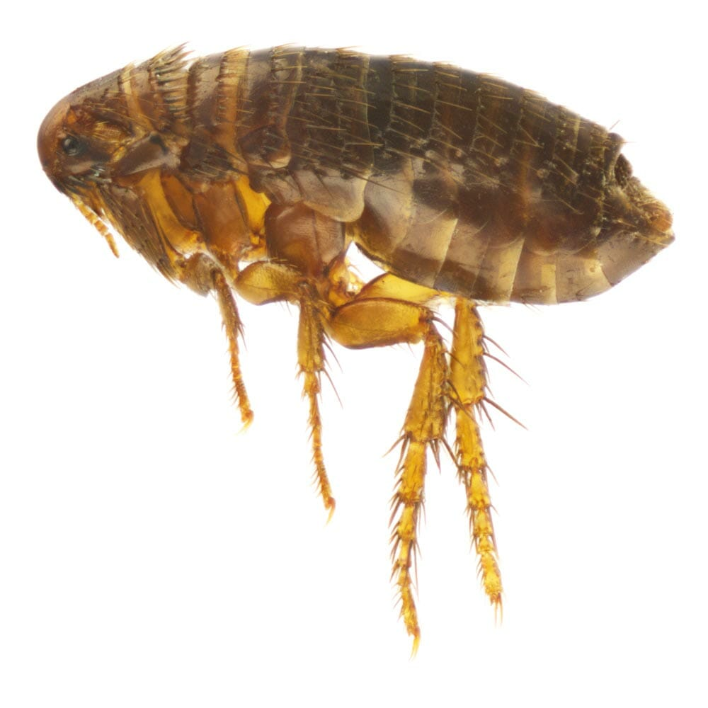 removing and controling fleas