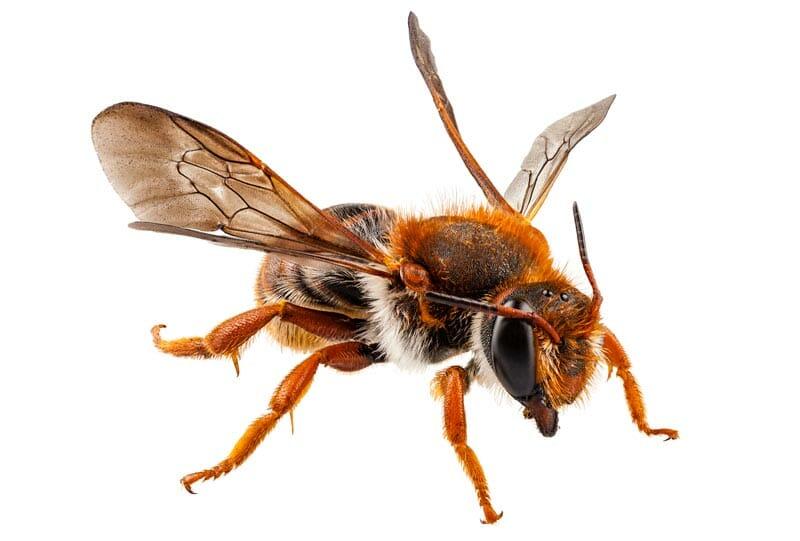 mason bee nest removal