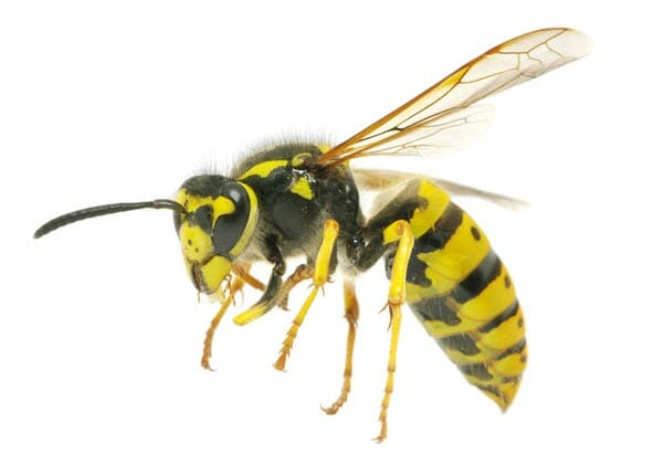 wasp nest removal and control Hampshire