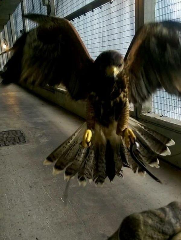 malum falconry pest control