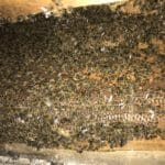 honey bee nest removal
