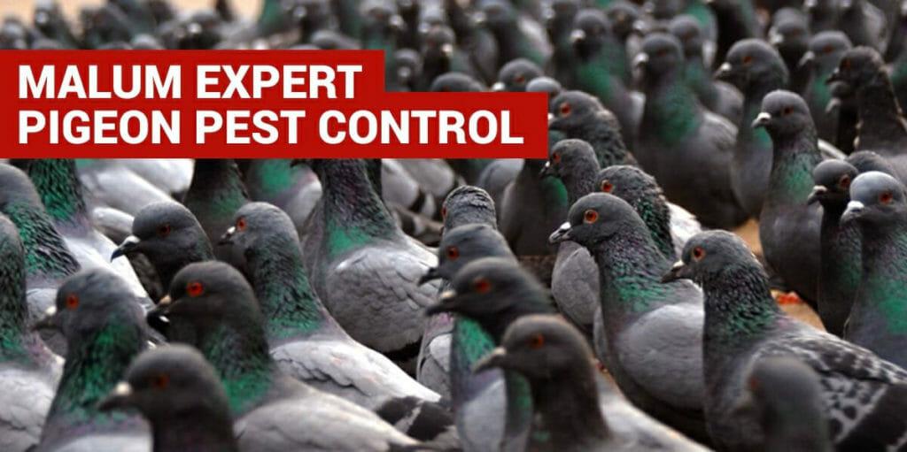 pigeon bird control in dorset