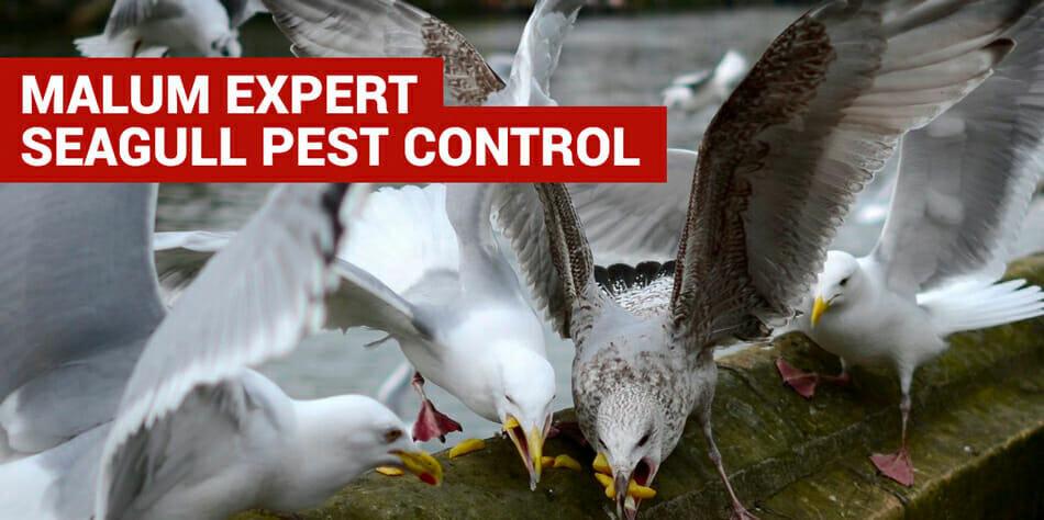 pest control for seagulls in dorset