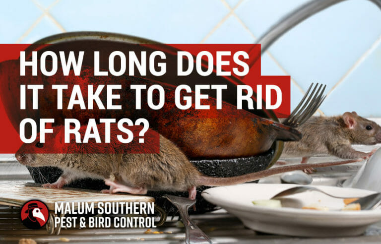 how long does it take to get rid of rats