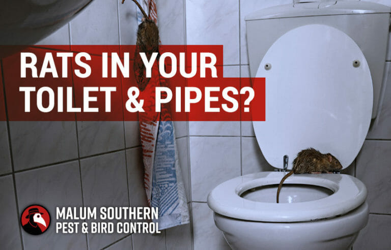 rats in your toilet and pipes