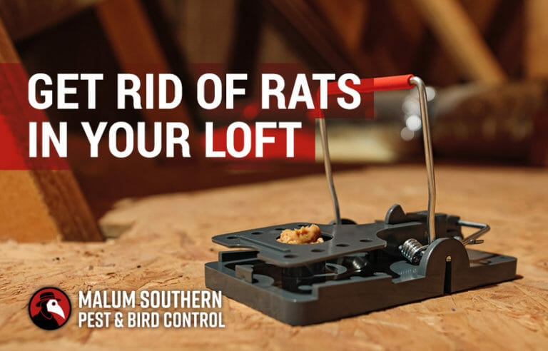 how to get rid of rats in your loft