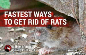 fastest ways to get rid of rats