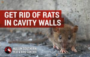 get rid of rats in cavity walls