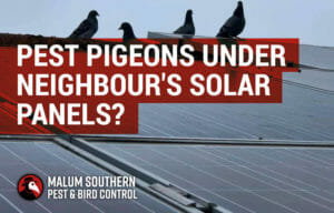 Pest Pigeons Under Neighbour's Solar Panels
